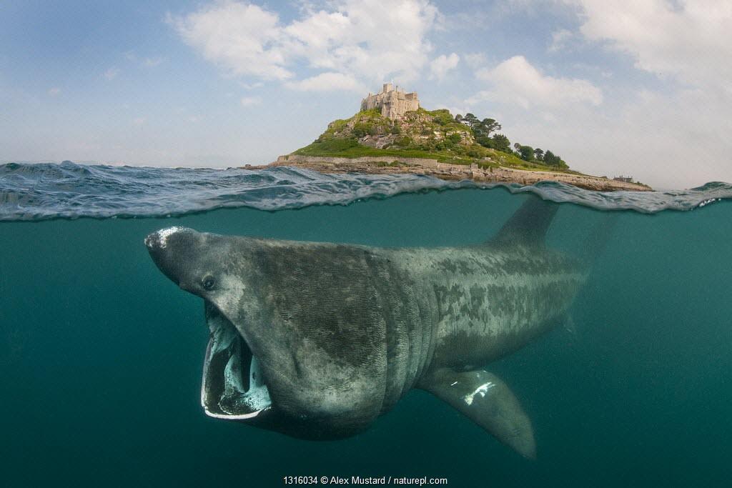 A split level digital composite showing a Basking shark (Ceterhinus maximus) feeding on plankton around St Michael's Mount, Cornwall, UK. June