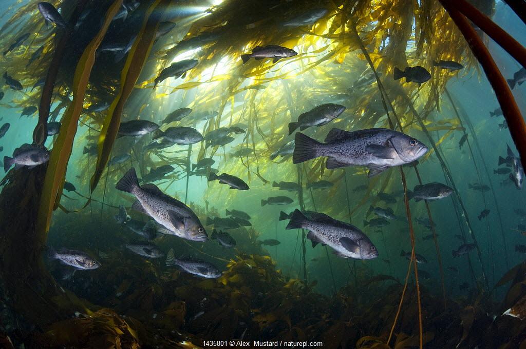 Black rockfish (Sebastes melanops) in bull kelp (Nereocystis luetkeana), Browning Pass, Port Hardy, Vancouver Island, British Columbia, Canada.