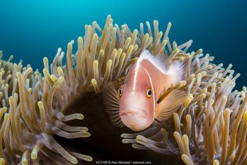 Pink anemonefish (Amphiprion perideraion) looks out from its host Magnificent sea anemone (Heteractis magnifica) Anilao, Batangas, Luzon, Philippines. Verde Island Passages, Tropical West Pacific Ocean.