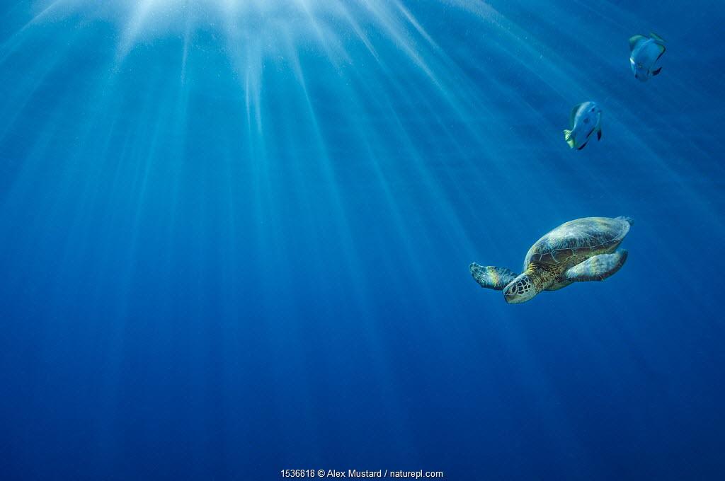 Portrait of a Green sea turtle (Chelonia mydas) in morning light. Sipadan Island, Sabah, Borneo, Malaysia. Celebes Sea.