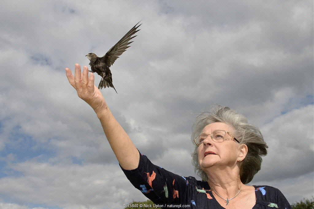 Judith Wakelam releasing an orphaned Common swift chick (Apus apus) she has fostered and fed with insects at her home until it was ready to fly, Worlington, Suffolk