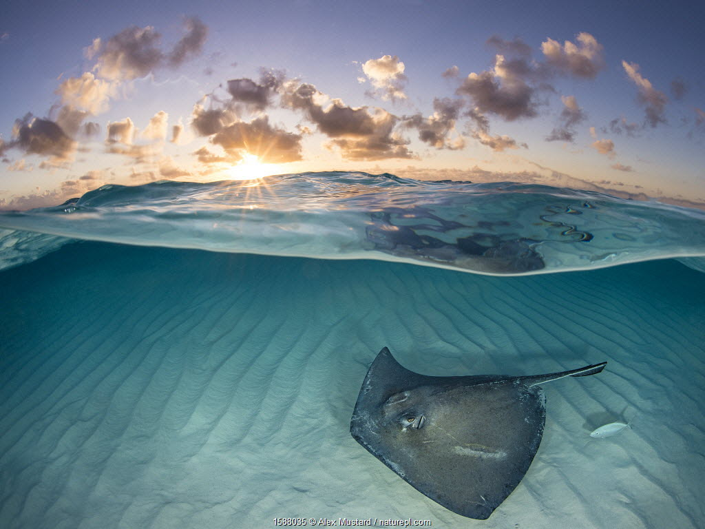 RF - Southern stingray (Dasyatis americana) swimming over sand in shallow water at dawn, Cayman Islands, Caribbean Sea.