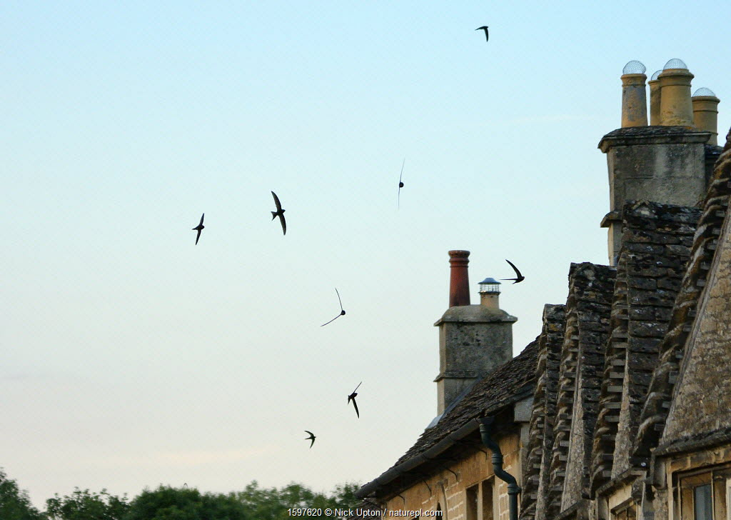 Common swift (Apus apus) screaming as they fly in formation over cottage roofs at dusk, Lacock, Wiltshire