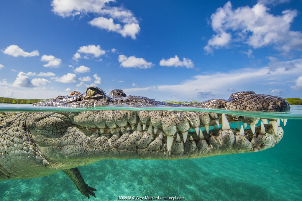 Split level photo of an American crocodile (Crocodylus acutus) floating at the surface over a shallow seagrass meadow, close to mangroves. Jardines de la Reina, Gardens of the Queen National Park, Cuba. Caribbean Sea.