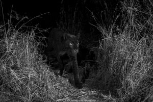 Young male melanistic leopard (Panthera pardus), Laikipia Wilderness Camp, Kenya. Photographed with a Camtraptions camera trap. Black and white.