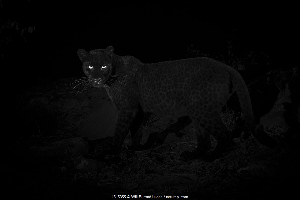 Young male melanistic leopard (Panthera pardus), Laikipia Wilderness Camp, Kenya. Photographed with a Camtraptions camera trap.