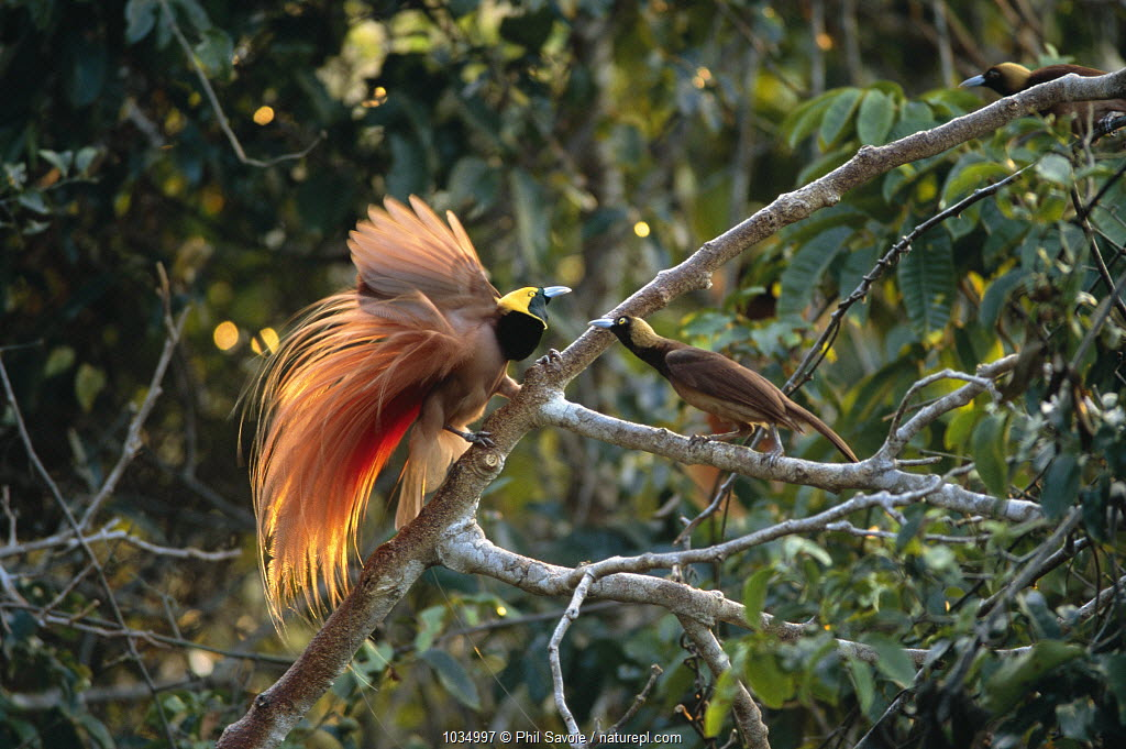 Raggiana bird of paradise (Paradisaea raggiana) male displaying to female, Papua New Guinea, Varirata NP.