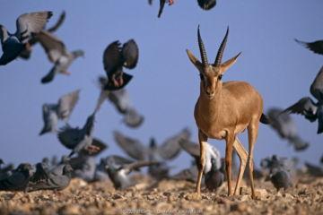 Indian gazelle (Chinkara) (Gazella bennetti) with flock of Common pigeons, Lohawat, Rajasthan, India
