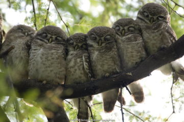 Six Spotted Owlet chicks (Athena brama) perched in a row, Keoladeo Ghana NP, Bharatpur, Rajasthan, India