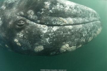 Grey whale (Eschrichtius robustus) calf upside down, San Ignacio Lagoon, Baja California, Mexico