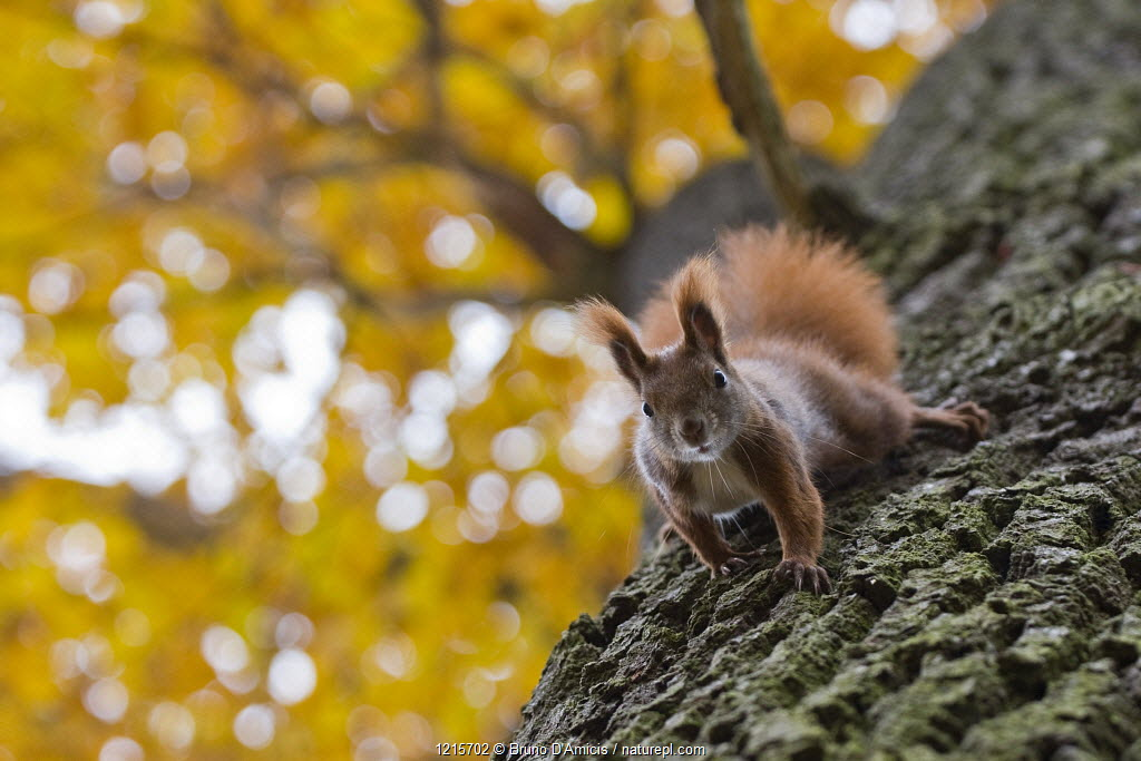 Red squirrel (Sciurus vulgaris) looking down from Oak tree (Quercus robur) in autumn, Berlin, Germany
