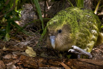 Kakapo (Strigops habroptila) wild male known as Sirocco walking along the ground, night parrot, Codfish Island, off Stewart Island, southern New Zealand