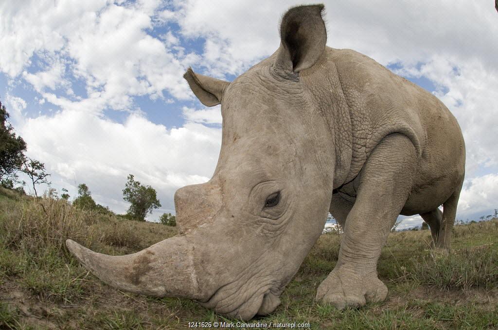 Southern white rhinoceros (Ceratotherium simum simum) grazing. Ol Pejeta Conservancy, Kenya
