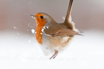Robin (Erithacus rubecula) displaying in snow, nr Bradworthy, Devon