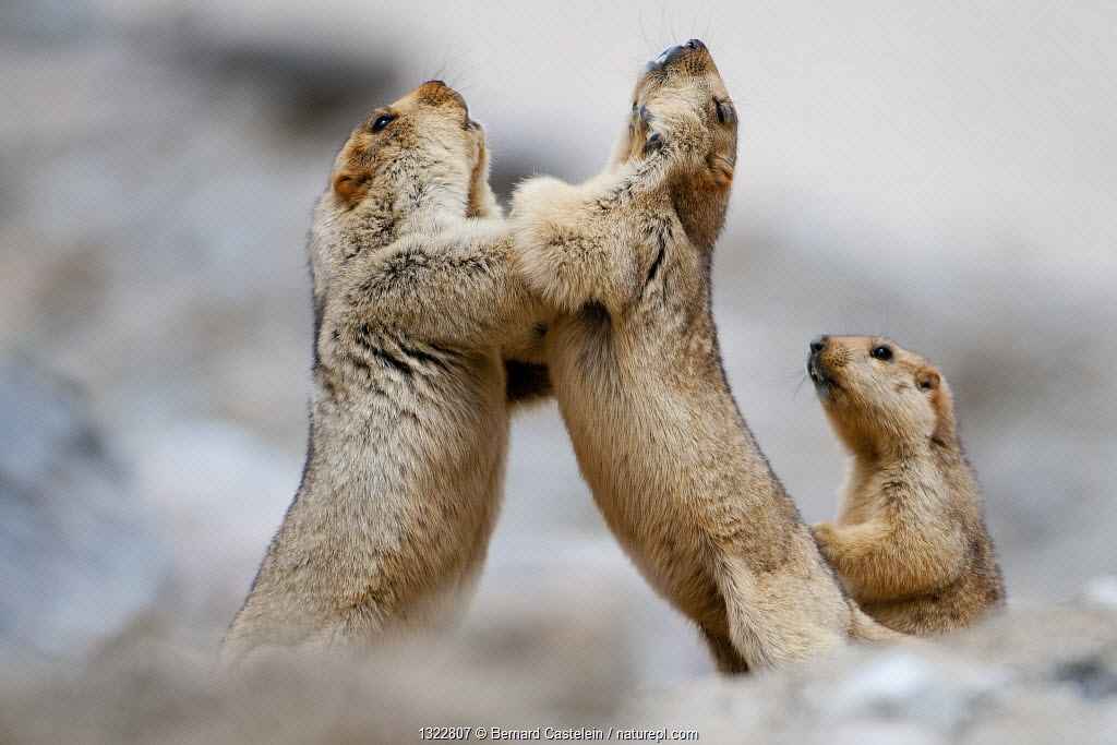 Himalayan Marmots (Marmota himalayana) play-fighting, Ladakh, India