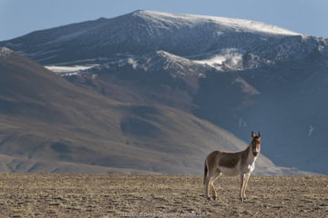 Tibetan Wild Ass (Equus kiang) with view of snow capped mountains behind, Tso Kar lake, Ladakh, India