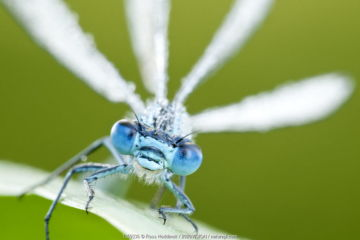 Common blue damselfly (Enallagma cyathigerum), close up portrait. Tamar Lake, Cornwall, UK