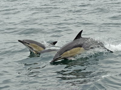 Common dolphins (Delphinus delphis) breaching, near South Uist, Outer Hebrides, Scotland, UK, June