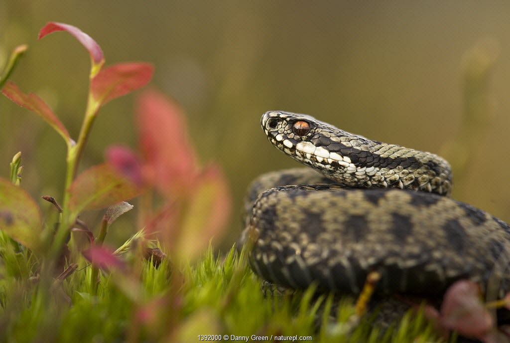Male adder (Vipera berus) amongst Bilberry. Cannock Chase, Staffordshire, UK, October.