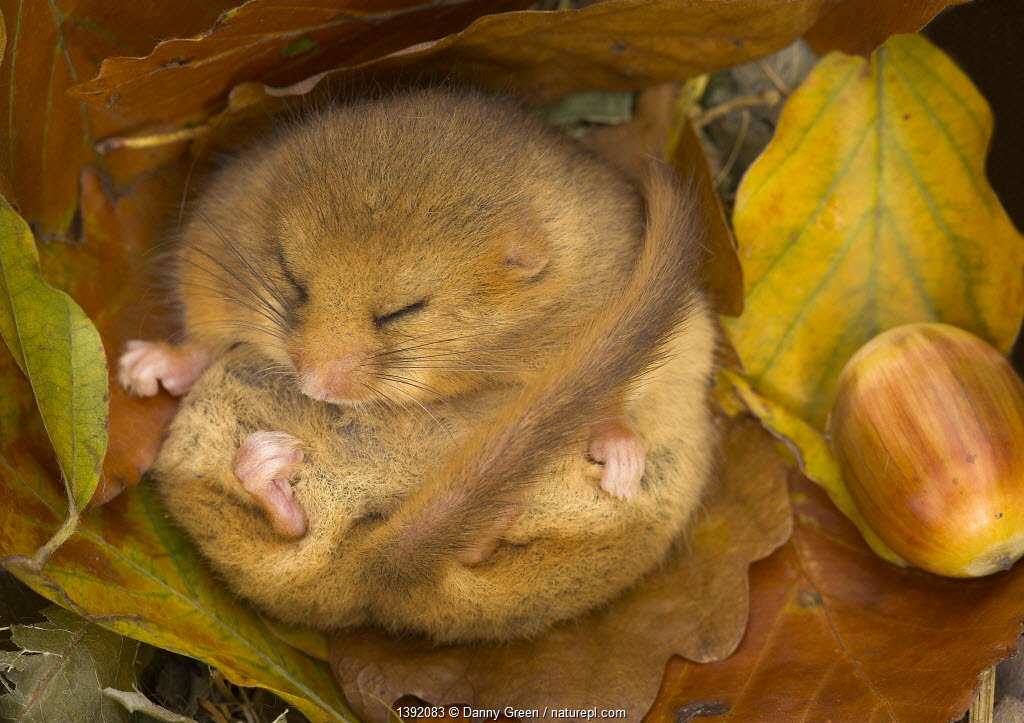 Hazel Dormouse (Muscardinus avellanarius) hibernating amongst leaves and acorns. Captive. Leicestershire, UK, October.