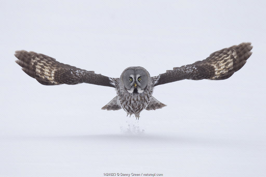 Great Grey owl (Strix nebulosa) taking off from the ground in snow, Finland, April.