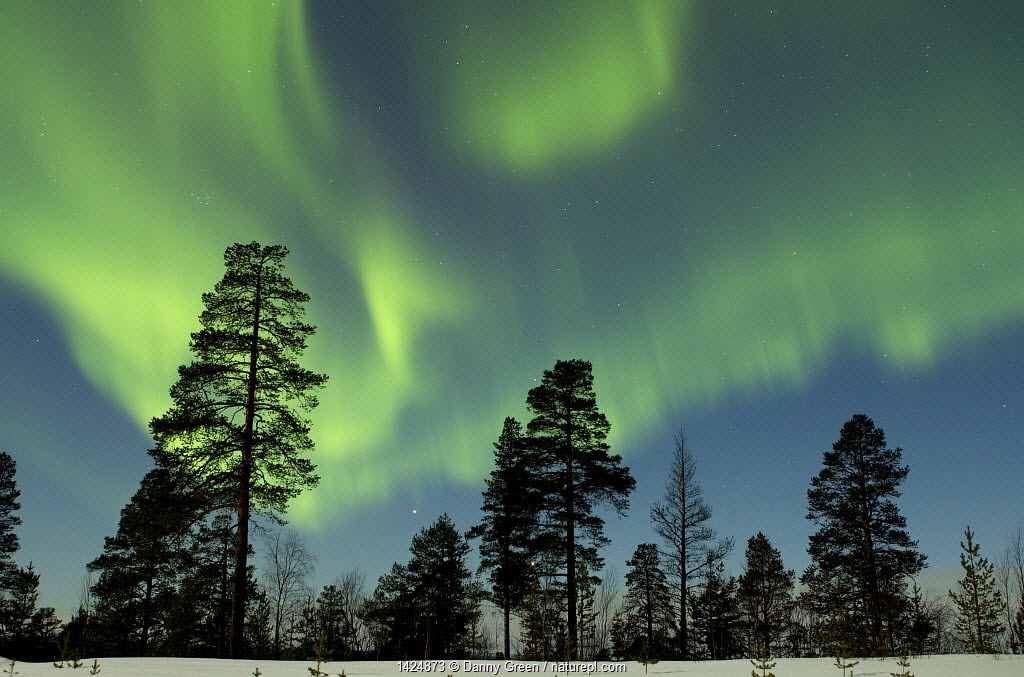 Aurora borealis above silhouetted trees, Northern Finland