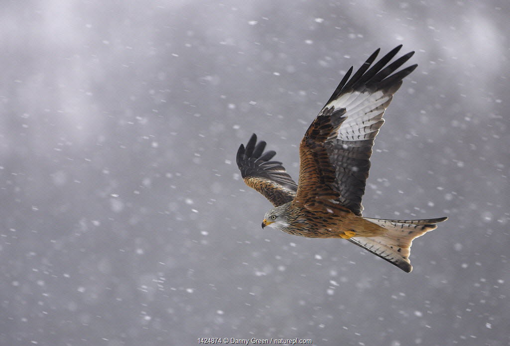 Red kite (Milvus milvus) in flight in the snow, Wales, February.