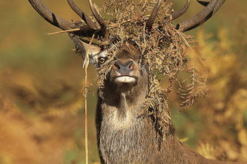 Red deer (Cervus elaphus) stag with head covered in bracken, Leicestershire, UK, October.