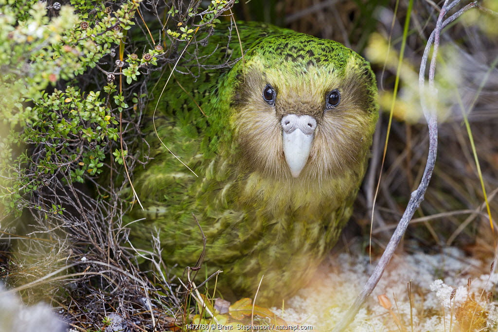'Sinbad' the male Kakapo (Strigops habroptilus) curiously peering from the bushes during the day. Codfish Island, Stewart Island, New Zealand, January. Critically endangered.
