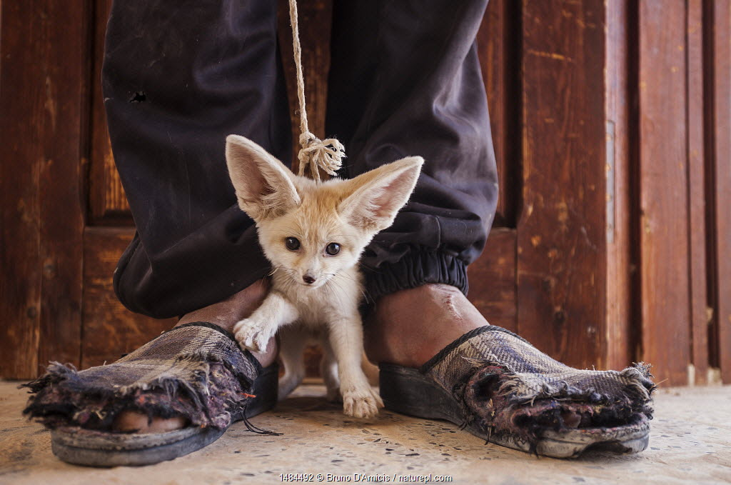 Young Fennec fox (Vulpes zerda) cub, offered for sale to the photographer by the young man who trapped it in the desert. Kebili Region, Tunisia.