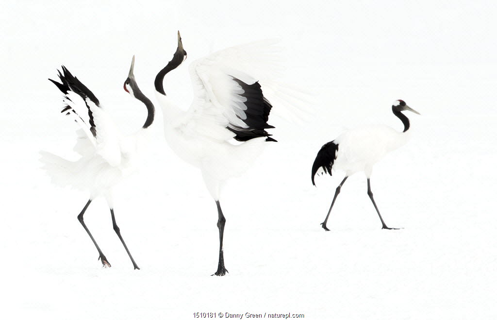Japanese cranes (Grus japonensis) displaying in snow, Hokkaido, Japan, February