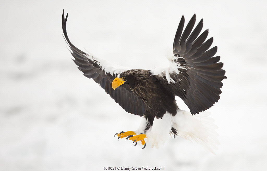 Steller's sea eagle (Haliaeetus pelagicus) in flight, about to land, Japan, February