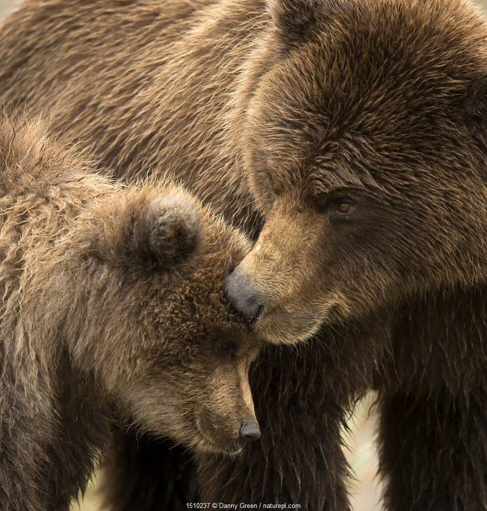 Coastal brown bear (Ursus arctos) and cub, Lake Clarke National Park, Alaska, September.