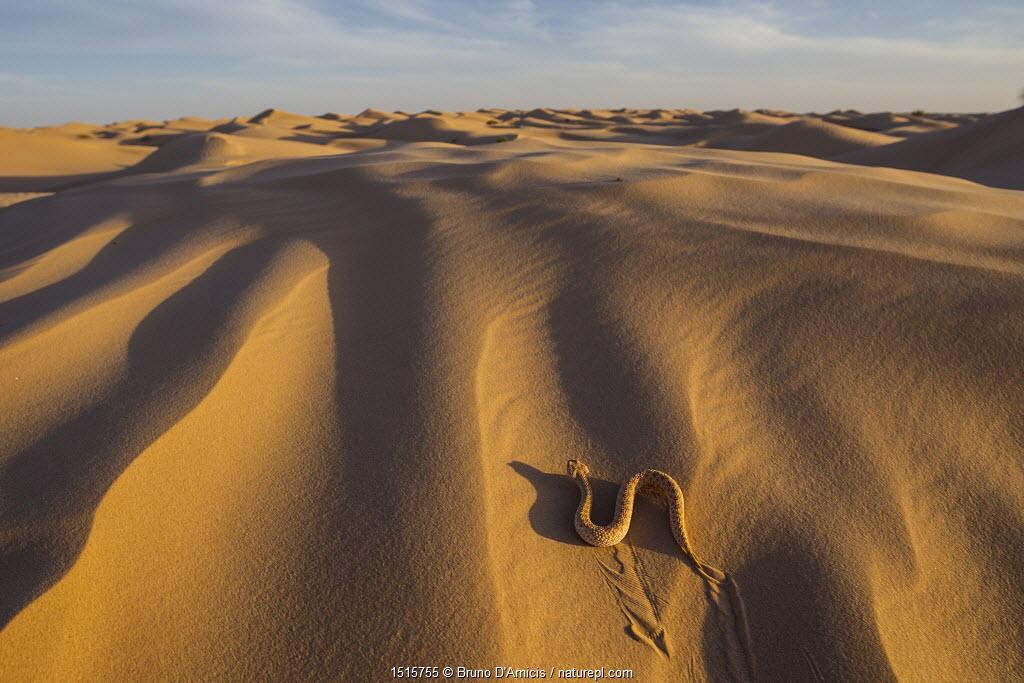 Sand viper (Cerastes vipera) sidewinding on sand dunes. Grand Erg Oriental, Kebili Governorate. Tunisia.