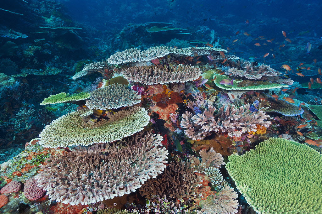 Table corals (Acropora) on remote reef. Komodo National Park, Indonesia, tropical Indo-Pacific ocean.