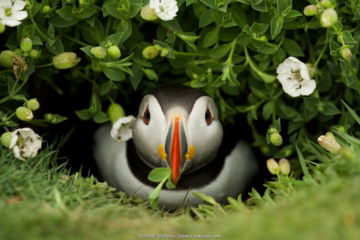 Atlantic Puffin (Fratercula arctica) coming out of it's burrow with a gift, Skomer Island, Wales, UK, May