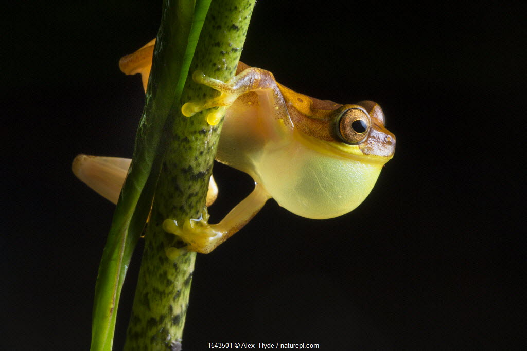 Hourglass treefrog (Dendropsophus ebraccatus) male with inflated vocal sac calling at night, Central Caribbean foothills, Costa Rica
