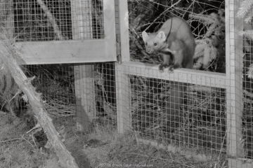 Radio-collared Male Pine marten (Martes martes) emerging from a temporary soft release cage after dark during a reintroduction project by the Vincent Wildlife Trust, Cambrian Mountains, Wales, UK, September 2016. Captured with a camera trap and infra-red light.