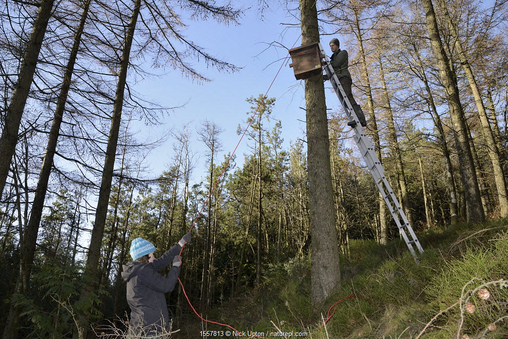 David Bavin up a ladder as Josie Bridges hauls up a wooden den box on a rope pulley to be attached to a pine tree for use by Pine martens (Martes martes) reintroduced to Wales by the Vincent Wildlife Trust, Cambrian Mountains, Wales, UK, February 2016. Model released.