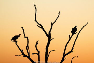 White backed vulture (Gyps africanus) two silhouetted at sunset, Kruger National Park. South Africa. Picture taken by pupil Israel Morei during Wild Shots Outreach Residential Course.