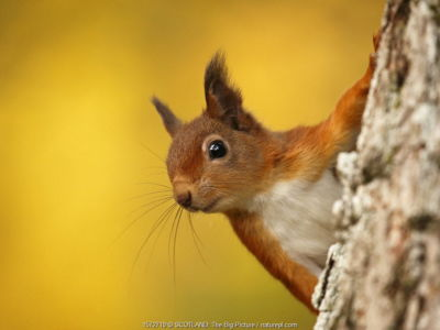 Red squirrel (Sciurus vulgaris) with autumn colours, Cairngorms National Park, Highlands, Scotland, UK. October.