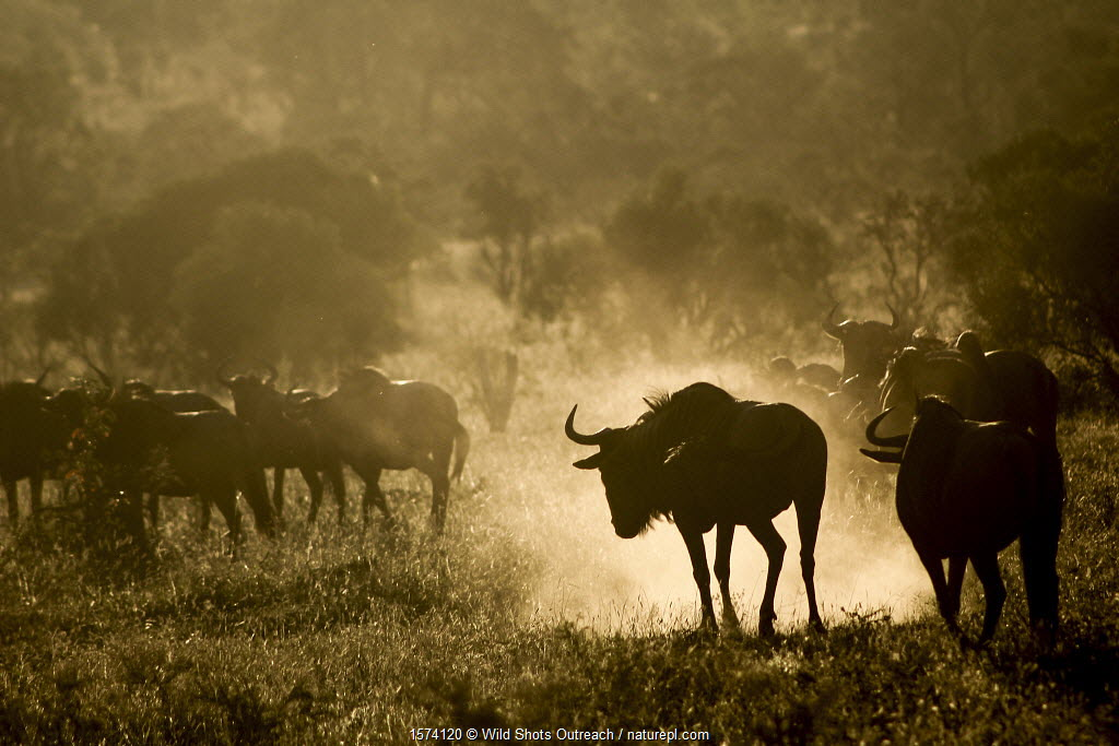 Blue wildebeest (Connochaetes taurinus) kicking up dust. Kruger National Park, South Africa. Photography by Wild Shots Outreach Student Ricky Tibane.
