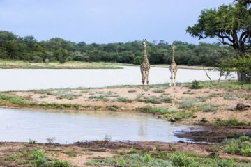 Giraffes (Giraffa camelopardalis) two standing by river. Southern African Wildlife College, Limpopo Province, South Africa Photograph taken by Wild Shots Outreach Student Paulinah Nanikie.