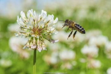 European honey bee (Apis mellifera) flying to White clover (Trifolium repens) flowers, Monmouthshire, Wales