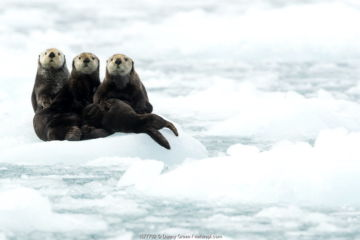 Three Sea otters (Enhydra lutris) resting on ice, Alaska, June
