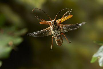 Longhorn beetle (Cerambycidae) in flight Rookery Wood, Sussex, England, UK, July.