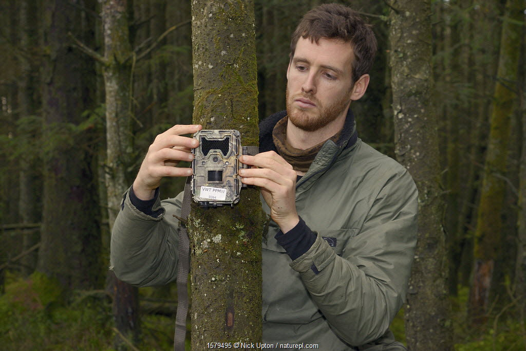Dave Bavin setting up a trailcam in a dense coniferous plantation to photograph a radio-collared Pine Marten (Martes martes) reintroduced to Wales by the Vincent Wildlife Trust after locating it by radio-tracking, Cambrian Mountains, Wales, UK, December 2015, Model released.
