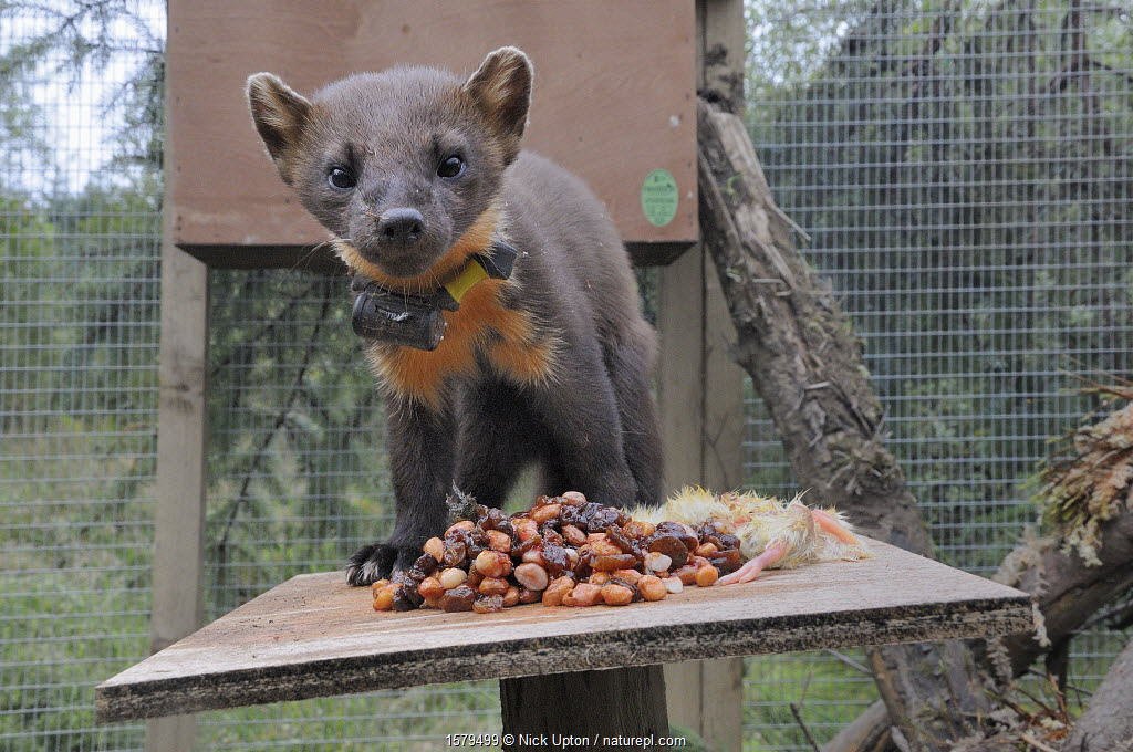 Pine marten (Martes martes) male standing on a feeding table in a soft release cage after arrival from Scotland