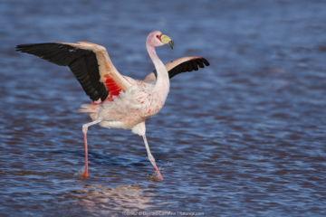 James's flamingo (Phoenicoparrus jamesi) walking with wings outstreched Laguna Colorada / Reserva Eduardo Avaroa, Altiplano, Bolivia