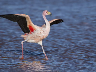 James's flamingo (Phoenicoparrus jamesi) walking with wings outstreched Laguna Colorada / Reserva Eduardo Avaroa, Altiplano, Bolivia